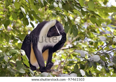 Black and white diana monkey of Roloway (Cercopithecus diana) in a tree