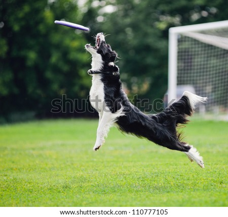 black and white dog catching disc in jump - stock photo