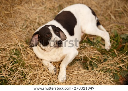 Black and White Dog Lies on Manger, Top View - stock photo