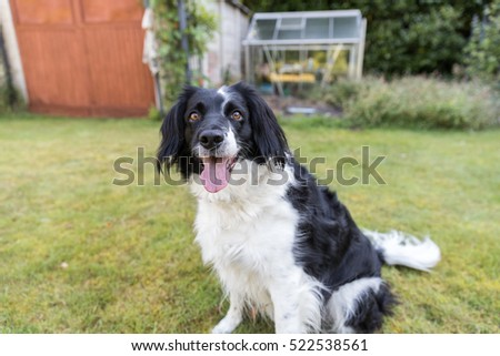 Black and white dog outside in the garden waiting to play on the grass
