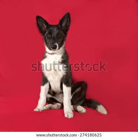 Black and white dog sitting on red background
