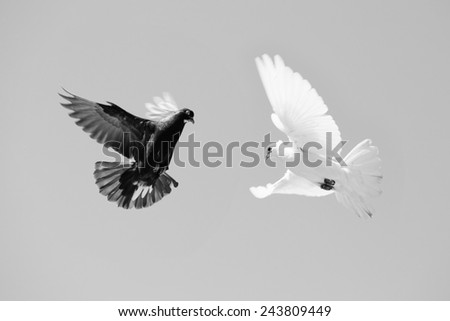 Black and White dove flying in the sky, b/w - stock photo
