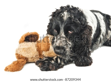 Black and white english cocker spaniel chewing on a toy - stock photo