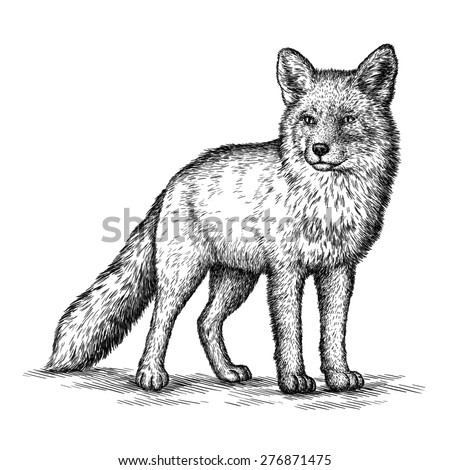 black and white engrave isolated fox - stock photo