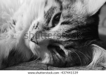 Black and white face shot of a tabby cat, laying on its side, as it dozes off with half opened eyes.  - stock photo