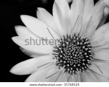 black-and-white flower. A close up - stock photo