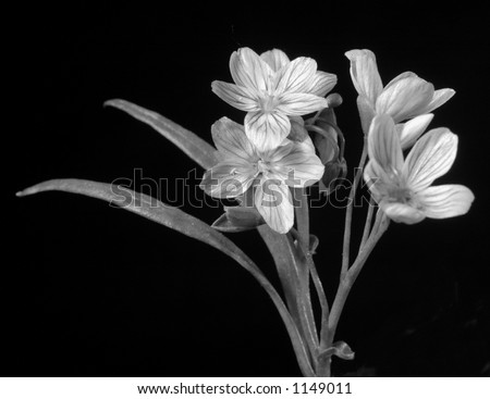 Black and white flower macro - stock photo