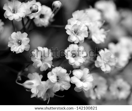 black and white flowers, baby's breath - stock photo