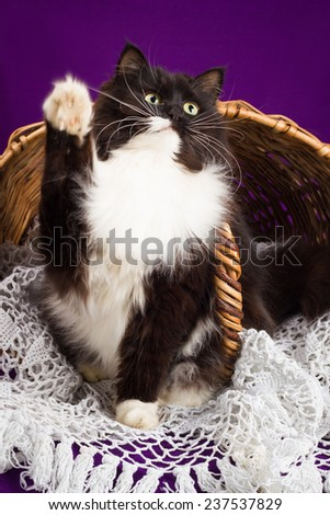 Black and white fluffy cat sitting near the basket. Purple background - stock photo