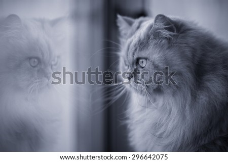 Black and white fluffy persian cat looking through the window - stock photo