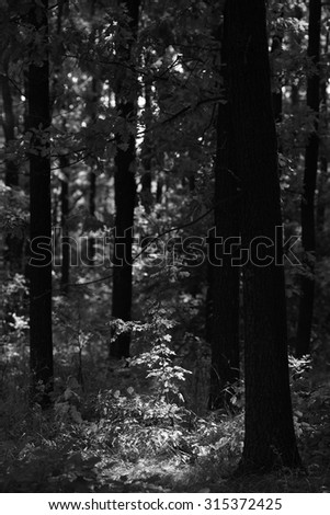 black and white forest - stock photo