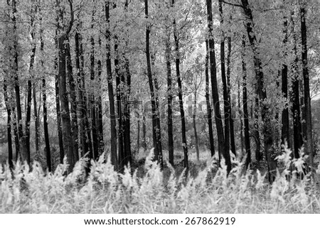 black and white forest background with many straight trees in foreground  - stock photo
