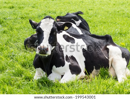 Black and white Friesian cows, laying in a meadow.