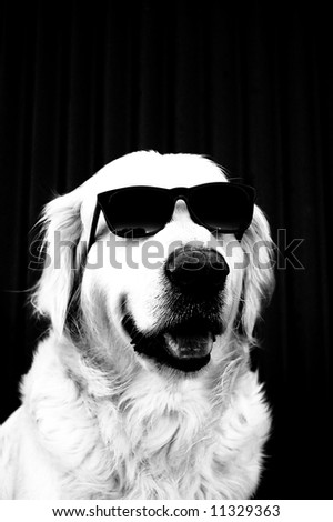 black and white funny image of a golden retriever in sunglasses - stock photo
