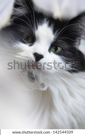 Black and white furry Main coon cat - stock photo