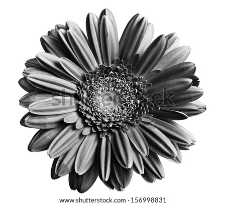 black and white gerber (gerbera) isolated over white background