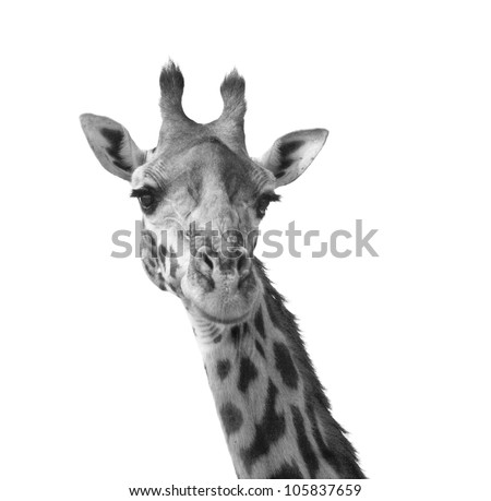 Black and white giraffe portrait Kenya Africa - stock photo