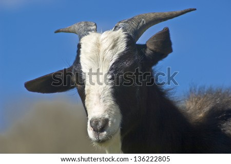 Black and white goat at countryside