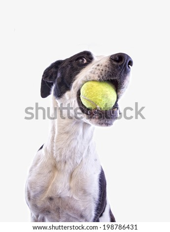Black and white Great Dane mix dog with tennis ball in mouth wanting to play isolated on white background