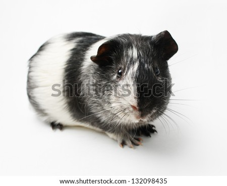 black and white guinea pig