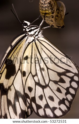 Black and white hanging butterfly on cocoon - stock photo