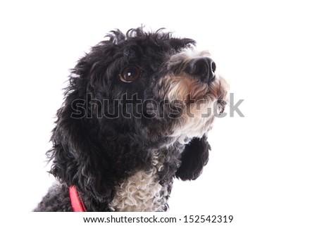 Black and white harlekino poodle isolated over white background - stock photo