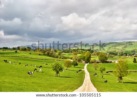 Black and white Holstein dairy cattle grazing happily in lush green pastures on a farm in picturesque English countryside - stock photo