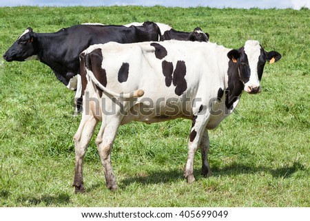 Black and white Holstein dairy cow with a full udder  in profile looking at the camera in a green grassy pasture with other cattle behind - stock photo