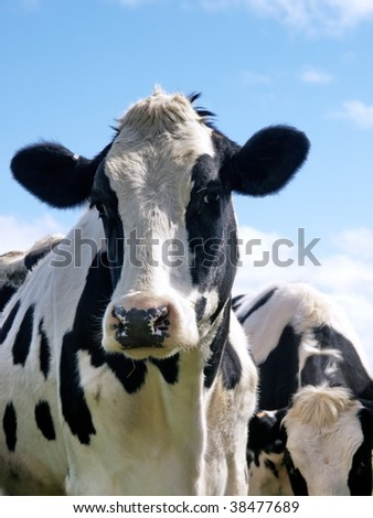 Black and white Holstein milk cow looking at camera.