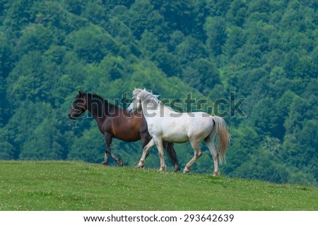 black and white horses. Wild stallion run on pasture at summer evening against mountains - stock photo
