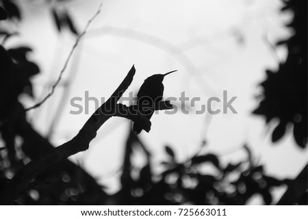 Black and white hummingbirds of tropical island Guadeloupe - Caribbean sea