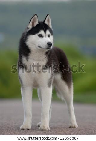 Black and white Husky - stock photo