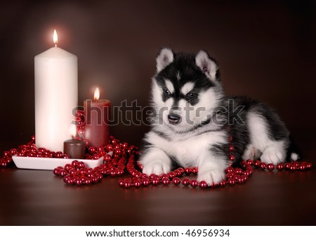 Black and white husky puppy with candles - stock photo