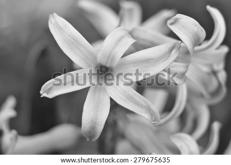 Black and white hyacinth close up. Flowering. Spring mood. - stock photo