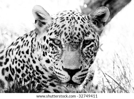 Black and white image of a leopard close up - stock photo