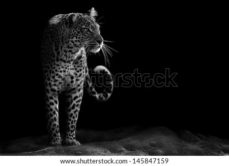 Black and white image of a leopard staring - stock photo