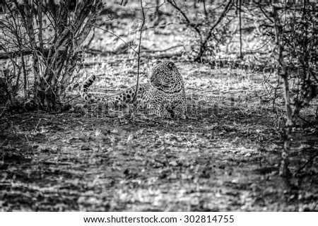 black and white image of a Male leopard sat under a tree at kruger national park - stock photo