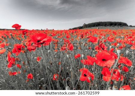 Black and white image of a meadow with red field poppies. - stock photo