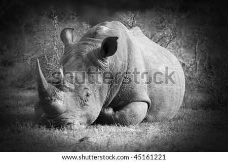 Black and white image of a white rhinoceros