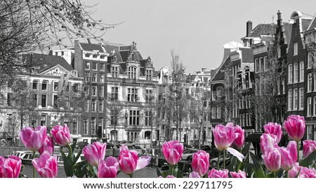 black and white image of an amsterdam cityscape with pink tulips  - stock photo