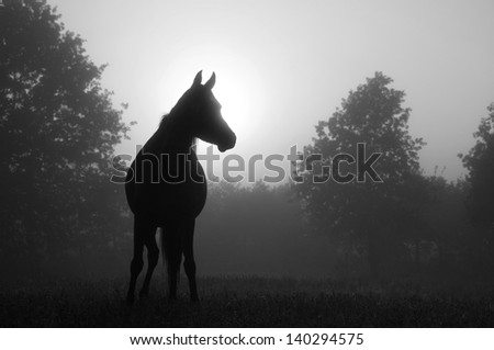 Black and white image of an Arabian horse in for at sunrise, silhouetted against sun - stock photo