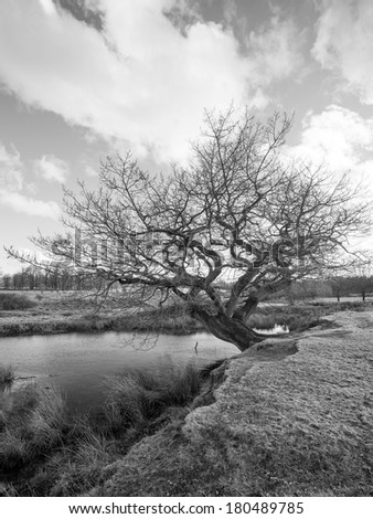 Black and White image of an old tree by a small pond
