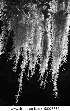 black and white image of backlit spanish moss - stock photo