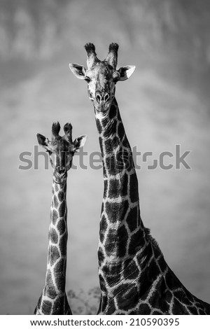 Black and white image of giraffe pair, South Africa - stock photo