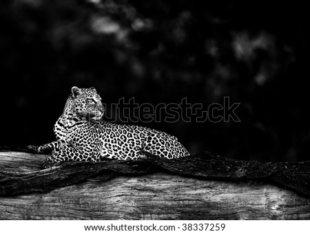 Black and white image of leopard in habitat - stock photo