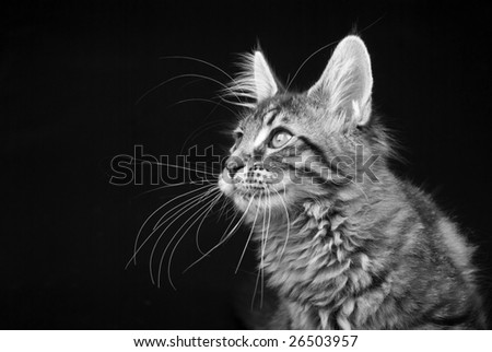 Black and white image of profile shot of black tabby Maine Coon kitten against black background - stock photo