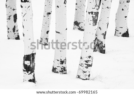 Black and white image of the white bark of aspens surrounded by snow during a Montana winter. - stock photo