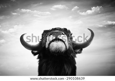 Black and white imponent bull portrait - stock photo