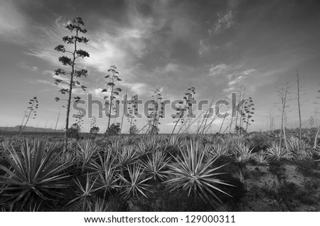 Black and White infrared Landscape with pitas ( agave ) in Cabo de Gata, Spain - stock photo