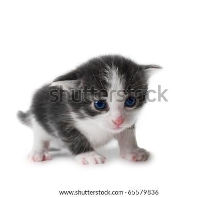black and white kitten closeup isolated over white shallow dof - stock photo